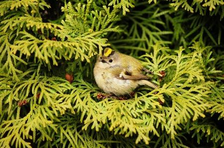 Gr�ne Thuja-Baum mit einem kleinen Vogel in ihr Lizenzfreie Bilder