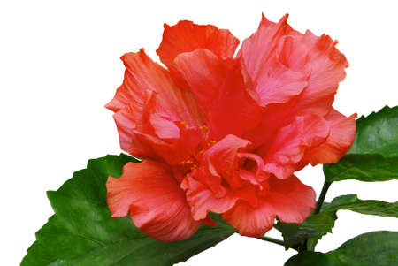Blooming pink hibiscus isolated on a white background Stock Photo