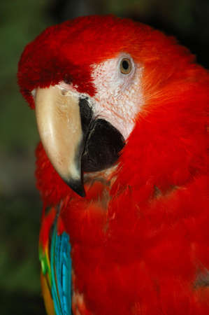 Photo of a red blue macaw bird Stock Photo