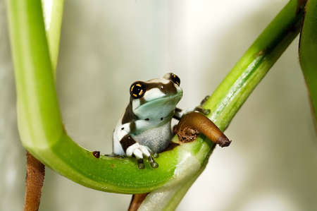 Little amazon milk frog on the branch