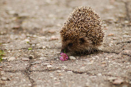 A hedgehog smelling a flower on the road Stock Photo