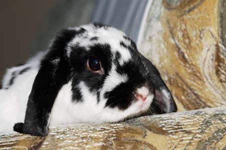 A portrait of a white rabbit with black spots
