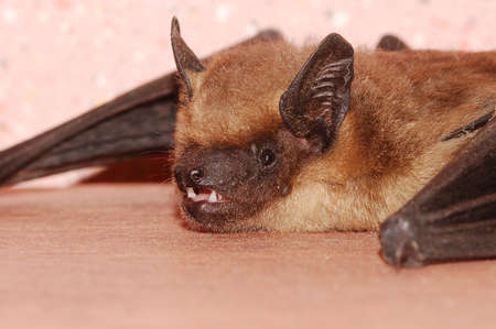 Portrait of a bat shot in close-up