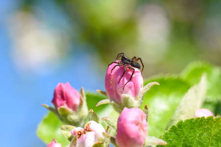Spider crawls over the apple flower in the garden, garden pests, damage to the apple flower