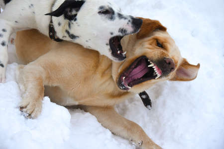 Pets dogs fight on a walk Stock Photo