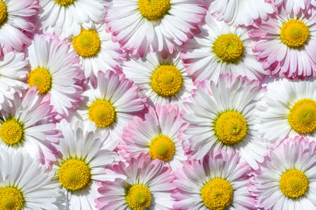 Bright background of white and pink field chamomiles. Summer background. Chamomile field. Beautiful meadow.