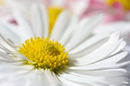 Isolated background with white daisy flowers with a yellow and pink petals Stok Fotoğraf