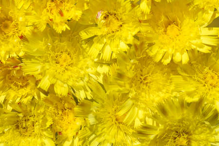 Isolated background of flowers yellow daisy with a yellow and orange petals