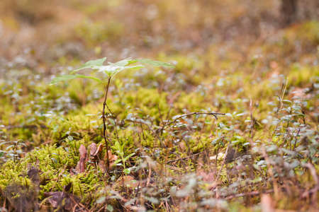 Small oak tree sprouts through the yellow forest grass in autumn Stock Photo