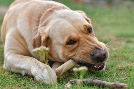 Golden dog labrador terrier eats bone lying on grass