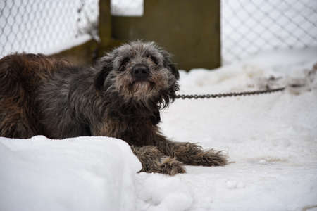 Domestic dog freezes in the street on a leash in winter