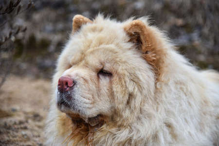 Chow-chow dog freezes in cold weather.