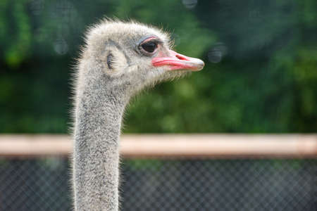 Ostrich in the zoo is watching, close-up.