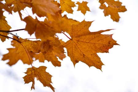 Orange maple leaves on a tree in autumn.
