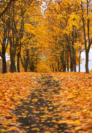 Maple park trail in autumn, fallen orange leaves.