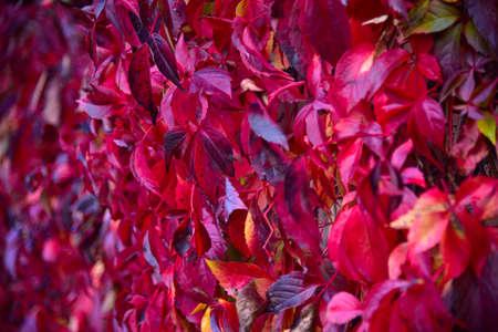 Autumn leaves of red wild grape. Zdjęcie Seryjne