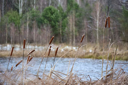 The reeds on the shore of a winter forest lake.