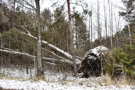 Uprooted big tree in winter forest.