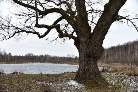 Old oak on the shore of a forest lake in winter. Фото со стока