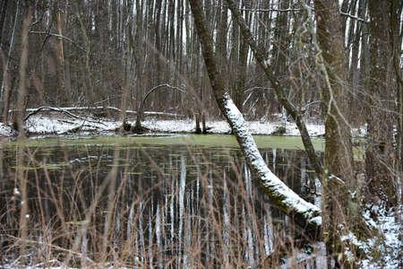 Unfrozen swamp forest lake in winter. Фото со стока - 137797997