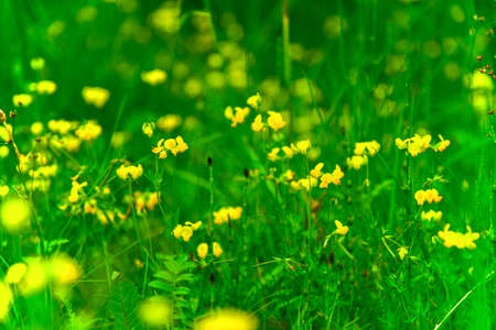 Beautiful little yellow wildflowers. 免版税图像