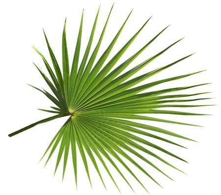 Palm tree leaf isolated on white background