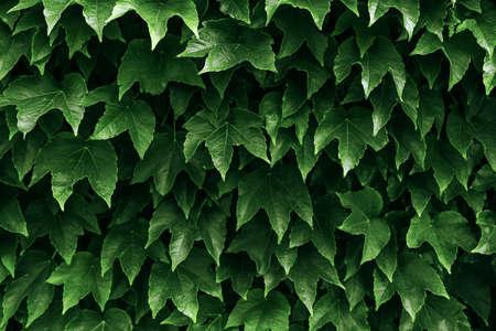 Boston ivy and ivy leaves background Standard-Bild