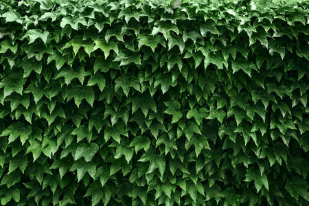 Boston ivy and ivy leaves background Standard-Bild - 131555641