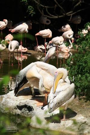 pelikan: flamingos and pelikans am river