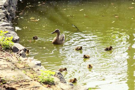 ducklings: Duck and ducklings