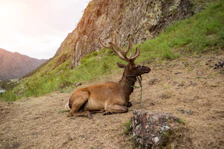 Deer maral with big horns lies on a mountain tied with a bridle in the mountains of the Altai