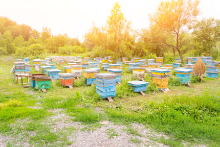 A large number of colorful hives made of wood in the form of boxes on an apiary in a field among green grass and trees with bees bringing pollen for honey on a summer day in the mountains of Altai Stock Photo