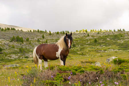 A large strong horse of brown and white color stands in the middle of the mountains with rocks and green grass looking forward with a white fluffy mane against the background of gray clouds and trees