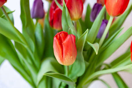 A bouquet of tulips close-up view of red and purple with green leaves on a white background. Large flower buds.