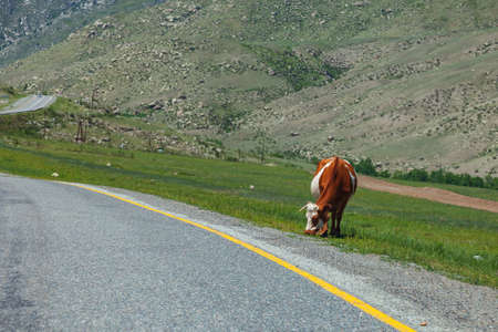 A long asphalt road with a yellow dividing strip on which brown cow stand against a background of high mountains with rocks and stones on a clear warm summer day. Agriculture and livestock. Stock Photo