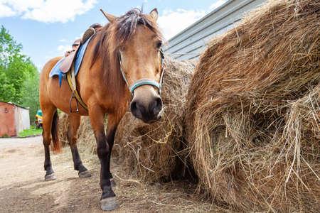 Un cheval arabe brun avec une selle sur le dos a baissé la tête et mange du foin d'une pile sèche