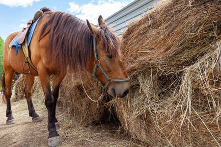 A brown arabian horse with a saddle on his back bowed his head and eats hay from a dry stack