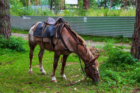 A brown arabian horse with a saddle on his back bowed his head and eats green grass in the forest