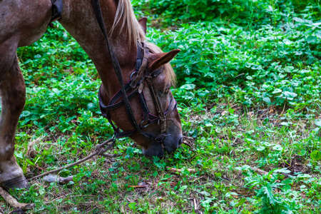 Close up on a head of a brown arabian horse with a saddle on his back bowed his head and eats green grass in the forest Banco de Imagens