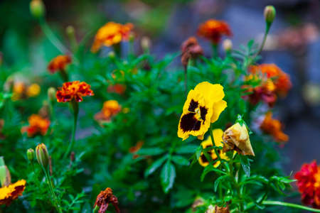 Close-up on a yellow pansy flower on a background of orange carnations and green leaves.