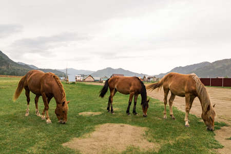 Three brown arabian horse without a saddle on his back bowed his head and eats green grass in the forest
