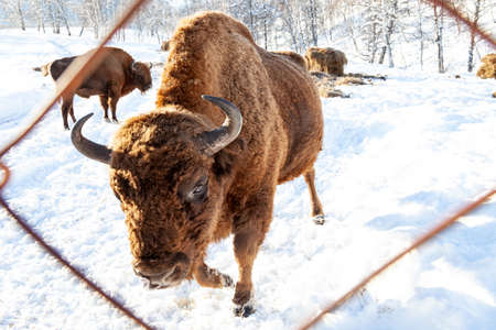A large brown bison or bull from Wall Street is standing near the metal fence of the fence while eating hay.