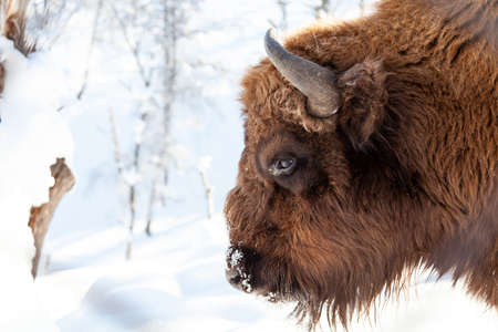 Bison bull head with brown fur and horns on a white isolated background. An endangered species of animals listed in the Red Book.
