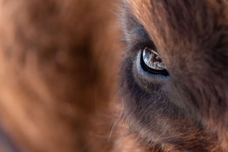 Close-up on the big eye of an animal, bull, bison, cow or horse with brown hair and reflection in the pupil. View of an endangered animal.