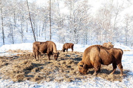 A large herd of brown bison or Wall Street bulls grazes next to a haystack on snow in winter in Russia. An endangered species of animals listed in the Red Book.