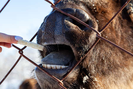A close-up on the jaws of an animal bull on Wall Street, a cow, a bison stuck through the net fence is fed from the hand with bread. Agriculture and farming.