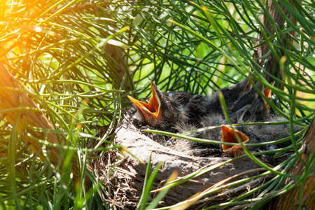 Closeup of a nest made by clay mud birds of branches and dry grass in which little gray chicks are sitting with young feathers and with open beaks begging for food.