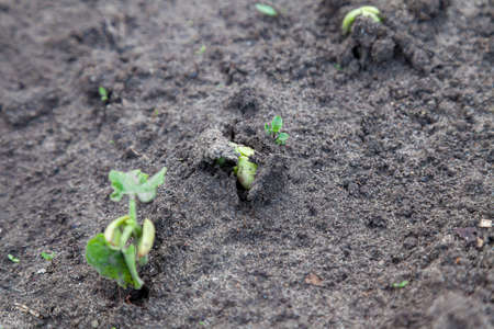 Young sprouts of cucumbers breaking through the green earth on an elastic juicy stalk close-up on a dark gray ground. The power that spawns a new life on the planet.