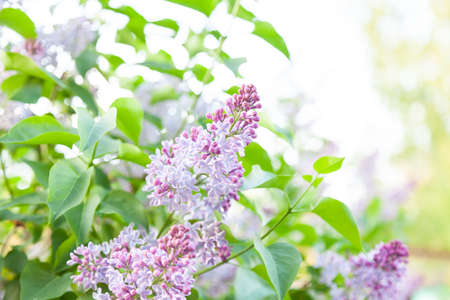 A bush of lilac green with purple flowers close-up with lush buds and partially unblown flowers. A romantic plant in the garden and park with a fragrant smell from childhood. 스톡 콘텐츠