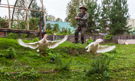 A funny photo of a male farmer in a camouflage suit and a straw hat clapping his hands and chasing white geese on a farm yard covered with green grass.